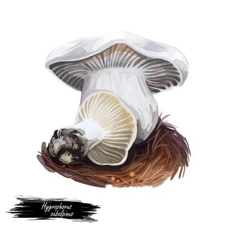 Hygrophorus subalpinus subalpine waxy cap, species of fungus in family Hygrophoraceae isolated on white. Digital art illustration, natural food. Autumn harvest fungi on grass Stock Illustration - 130773947