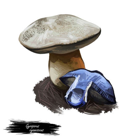 Gyroporus cyanescens bluing or cornflower bolete, species of bolete fungus in Gyroporaceae isolated on white. Digital art illustration, natural food, package label. Autumn harvest fungi on grass Stock Photo