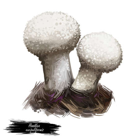Handkea excipuliformis pestle or long-stemmed puffball, species of Agaricaceae family isolated on white. Digital art illustration, natural food, package label. Autumn harvest fungi on grass