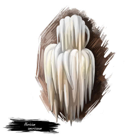 Hericium americanum bear head tooth fungus, an edible mushroom in tooth fungus group isolated on white. Digital art illustration, natural food, package label. Autumn harvest fungi on grass