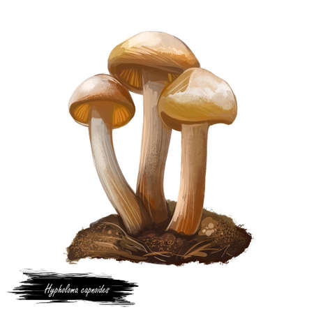 Hypholoma capnoides edible mushroom in the family Strophariaceae. Agaricomycetes isolated on white. Digital art illustration, natural food. Autumn harvest fungi on grass, healthy organic plant