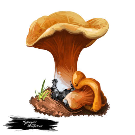 Hypomyces lactifluorum Lobster mushroom parasitic ascomycete fungus grows on certain species of mushrooms, turning reddish orange. Digital art illustration, natural food. Autumn harvest fungi on grass Stock Photo