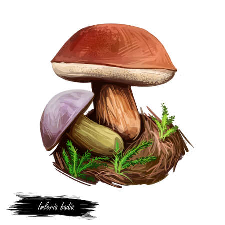 Imleria badia bay bolete, is an edible, pored mushroom found in Europe and North America isolated on white. Digital art illustration, natural food. Autumn harvest fungi on grass, healthy organic meal