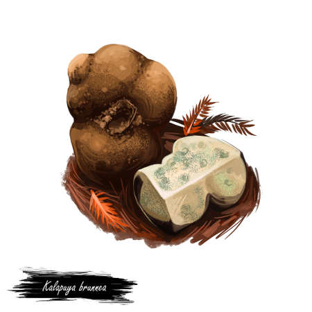 Kalapuya brunnea, Oregon brown truffle in monotypic fungal genus Kalapuya. Digital art illustration, natural food. Autumn harvest fungi on grass, healthy organic meal. Clipart, web print design Stockfoto