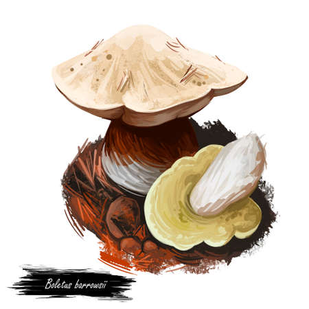 Boletus barrowsii mushroom digital art illustration. White cap king ingredient biological kind of plants, mushrooming natural veggie with thick cap and steam. Vegetable delicacy food for vegetarians.
