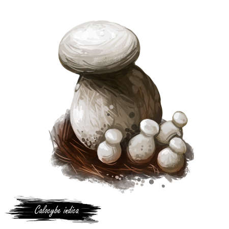 Calocybe indica, milky white mushroom digital art illustration. Vegetables originating from India, fungi with fat steam, food indian type of organic plant ingredient. Veggie closeup of clipart.
