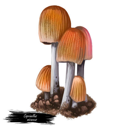 Coprinellus micaceus fungus Psathyrellaceae with cosmopolitan distribution, grows in large clusters on wood. Digital art illustration, natural food, package label. Autumn harvest fungi closeup