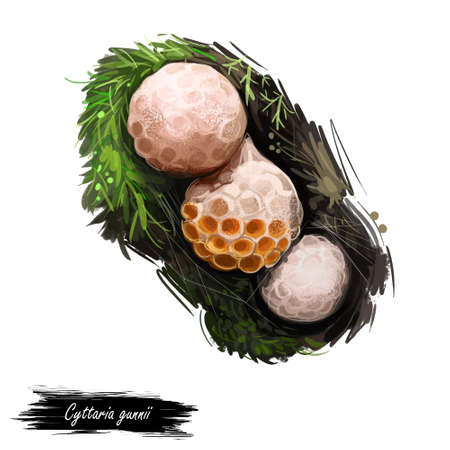 Cyttaria gunnii myrtle or beech orange-white colored and edible ascomycete fungus native to Australasia. Edible fungus isolated on white. Digital art illustration, natural food autumn harvest