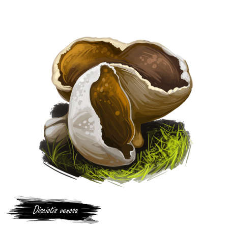 Disciotis venosa bleach cup, veiny cup fungus morel, species of fungus in family Morchellaceae. Edible fungus isolated on white. Digital art illustration, natural food autumn harvest or fall crop