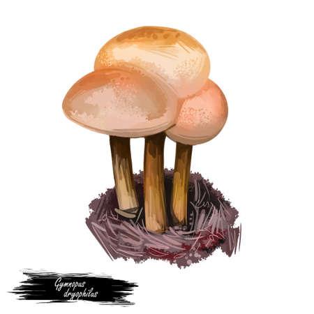 Gymnopus dryophilus mushroom Collybia dryophila Levipedes of the genus. Edible fungus isolated on white. Digital art illustration, natural food autumn harvest or fall crop, national food Stock Photo