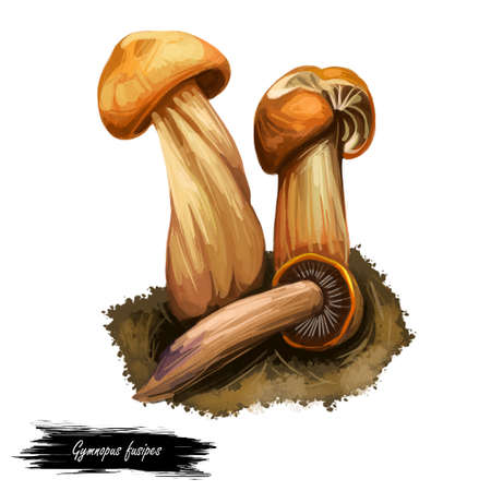 Gymnopus fusipes Collybia gilled mushroom in Europe and often grows in large clumps. Edible fungus isolated on white. Digital art illustration, natural food autumn harvest or fall crop, raw food Stock fotó - 130774774