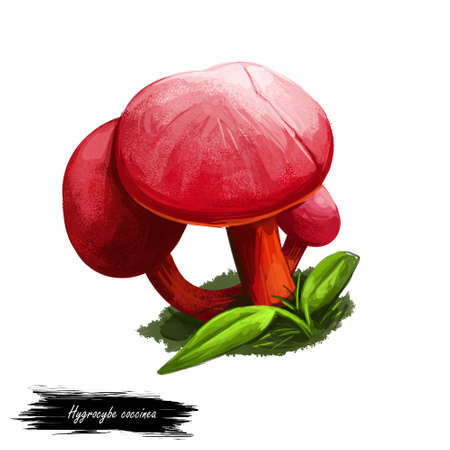 Hygrocybe coccinea scarlet hood, waxcap or righteous red waxy cap, member of mushroom genus Hygrocybe isolated on white. Digital art illustration, natural food, package label. Autumn harvest fungi
