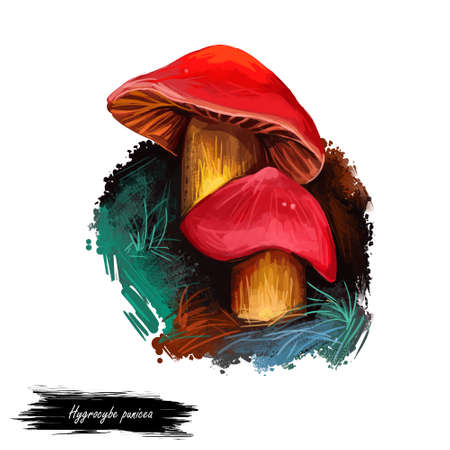 Hygrocybe punicea Crimson- or Scarlet Waxy Cap, member of genus Hygrocybe, waxcaps isolated on white. Digital art illustration, natural food, package label. Autumn harvest fungi, grass