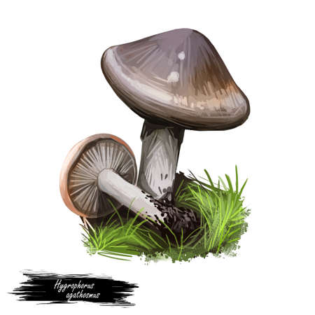 Hygrophorus agathosmus gray almond waxy cap or almond wood wax, species of fungus in Hygrophoraceae family isolated on white. Digital art illustration, natural food label. Autumn harvest fungi, grass