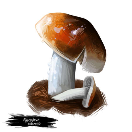 Hygrophorus bakerensis Mt. Baker waxy cap, brown almond or tawny species of fungus in Hygrophoraceae family isolated on white. Digital art illustration, natural food. Autumn harvest fungi on grass