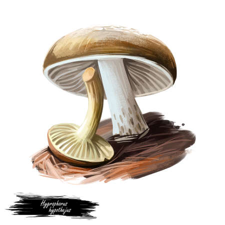 Hygrophorus hypothejus herald of winter, edible species of fungus in genus Hygrophorus native to Europe and North America isolated. Digital art illustration, natural food. Autumn harvest fungi Stock fotó