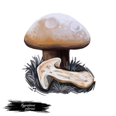 Hygrophorus pudorinus blushing turpentine waxycap, species of fungus in the genus Hygrophorus isolated on white. Digital art illustration, natural food. Autumn harvest fungi on grass