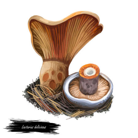 Lactarius deliciosus, saffron milk cap or red pine mushroom closeup digital art illustration. Rusty color fungi with orange hat. Mushrooming season, plant of gathering plants in woods and forests