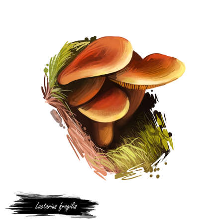 Lactarius fragilis, candy cap or curry milkcap mushroom closeup digital art illustration. Fungi family with orange caps. Mushrooming season, plant of gathering plants growing in woods and forests.