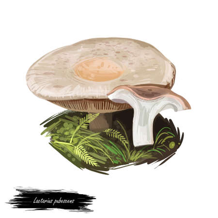 Lactarius pubescens or downy milkcap mushroom closeup digital art illustration. Cream fungi with orange beige shade of hat. Mushrooming season, plant of gathering plants growing in woods and forests