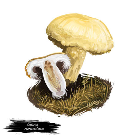 Lactarius repraesentaneus, northern bearded or purple-staining milkcap mushroom closeup digital art illustration. Yellow fungi. Mushrooming season, plant of gathering plants in woods and forests. Stock Photo