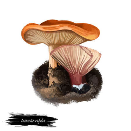Lactarius rufulus or rufous candy cap mushroom closeup digital art illustration. Fleshy brownish red or orange hat fungi. Mushrooming season, plant of gathering plants growing in woods and forests.