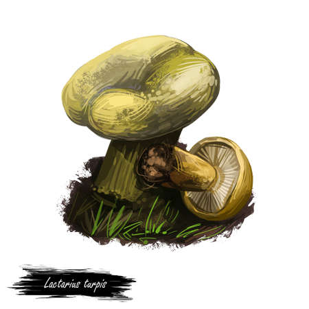 Lactarius turpis or Ugly milkcap mushroom closeup digital art illustration. Fungi have messy appearance and dirty brownish stain. Mushrooming season, plant of gathering plants in woods and forests