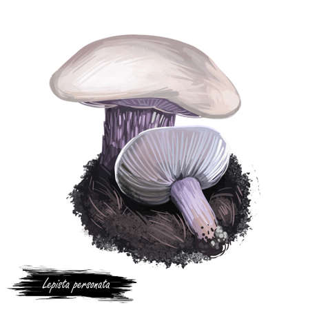 Lepista personata digital art illustration. Clitocybe saeva mushroom watercolor print realistic drawing. Tricholoma amethystinum ingredient vegetable ripe veggie. Fungus plant with inscription