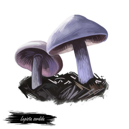 Lepista sordida mushroom digital art illustration. Agaricus sordidus watercolor print, Rhodopaxillus type of fungus. Veggie ingredient fresh food, edible food vegetable realistic drawing biological Stockfoto