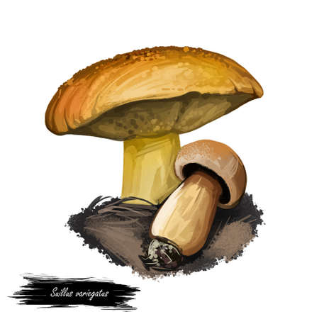 Suillus variegatus velvet bolete or variegated bolete. Edible mushroom closeup digital art illustration. Boletus cap ande body. Mushrooming season, plant growing in forests. Web print, clipart