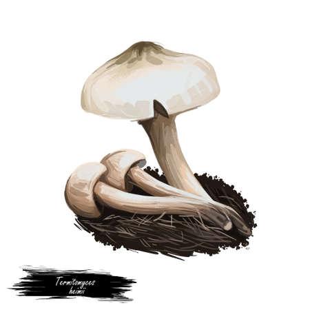 Termitomyces heimii isolated agaric fungus. Edible mushroom closeup digital art illustration. Boletus cap ande body. Mushrooming season, plant growing in forests. Web print, clipart Stock Photo