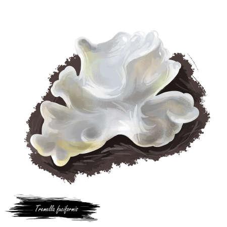 Tremella fuciformis fungus, snow silver ear fungus, white jelly mushroom. Edible mushroom closeup digital art illustration. Boletus cap. Mushrooming season, plant grows in forests. Web print, clipart Stock Photo