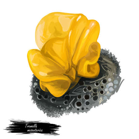 Tremella mesenterica yellow brain, golden jelly fungus, trembler witches butter. Edible mushroom closeup digital art. Boletus cap ande body. Mushrooming plant growing in forests. Web print, clipart