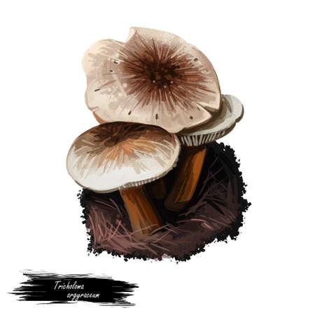 Tricholoma argyraceum grey-capped mushroom of Tricholoma. Edible mushroom closeup digital art illustration. Boletus cap ande body.