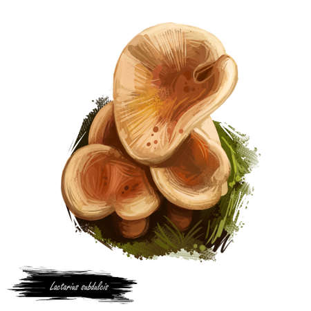 Lactarius subdulcis, mild milkcap or beech milkcap mushroom closeup digital art illustration. Rusty colored fungi darker in middle. Mushrooming season, plant of gathering plants in woods and forests.