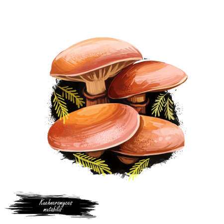 Kuehneromyces mutabilis sheathed woodtuft, is an edible mushroom grows in clumps on tree stumps. Digital art illustration, natural food. Autumn harvest fungi, healthy organic meal, watercolor clipart Stock Photo