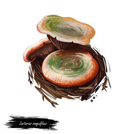 Lactarius sanguifluus or bloody milk cap mushroom closeup digital art illustration. Fungi hat has orange and greenish gray. Mushrooming season, plant of gathering plants growing in woods and forests.
