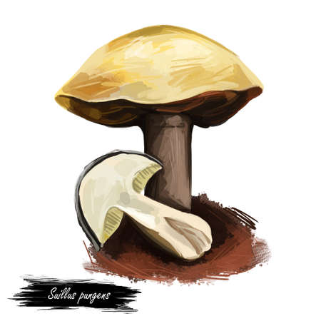Suillus pungens, pungent slippery jack or the pungent suillus. Edible mushroom closeup digital art illustration. Boletus cap and body. Mushrooming season, plant growing in forests. Web print, clipart