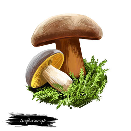 Lactifluus or Lactarius corrugis, corrugated cap milky mushroom closeup digital art illustration. Fungi have brown body and hat. Mushrooming season, plant of gathering plants in woods and forests.