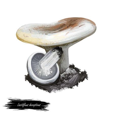 Lactifluus or Lactarius deceptivus, deceiving milkcap mushroom closeup digital art illustration. Fungi have whitish cap. Mushrooming season, plant of gathering plants growing in woods and forests Stock Photo