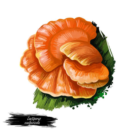 Laetiporus conifericola mushroom closeup digital art illustration. Polypore fungus grows on tree and have salmon orange body. Mushrooming season, plant of gathering plants growing in woods and forests