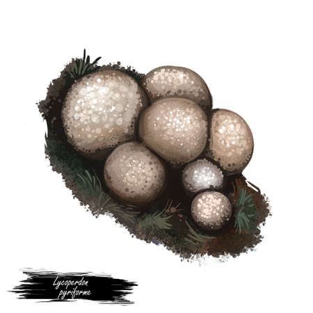 Lycoperdon pyriforme mushroom digital art illustration. Stump puffball watercolor print pyriforme tessellatum Morganella pyriformis, realistic drawing of saprobic fungus. Fungi design with inscription