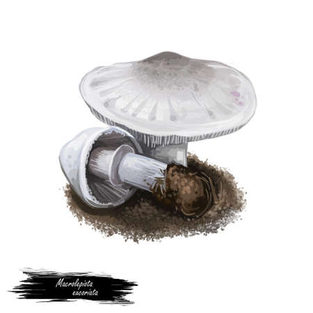 Macrolepiota excoriata mushroom digital art illustration. Agaricus excoriatus ingredient vegetable family of Agaricaceae watercolor print. Biodiversity realistic drawing with inscription title