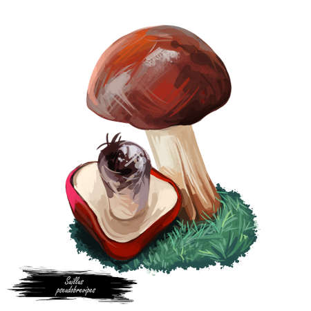 Suillus pseudobrevipes Suillus brevipe. Edible mushroom closeup digital art illustration. Boletus cap ande body. Mushrooming season, plant growing in woods and forests. Web print, clipart design Stock Photo