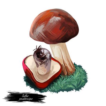 Suillus pseudobrevipes Suillus brevipe. Edible mushroom closeup digital art illustration. Boletus cap ande body. Mushrooming season, plant growing in woods and forests. Web print, clipart design 版權商用圖片