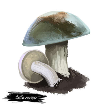 Suillus punctipes spicy suillus,bolete fungus in Suillaceae. Edible mushroom closeup digital art illustration. Boletus, mushrooming season, plant growing in woods forests. Web print, clipart design