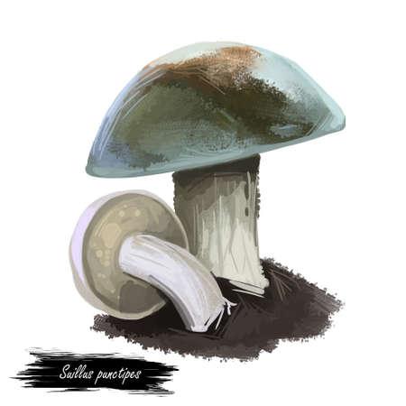 Suillus punctipes spicy suillus,bolete fungus in Suillaceae. Edible mushroom closeup digital art illustration. Boletus, mushrooming season, plant growing in woods forests. Web print, clipart design