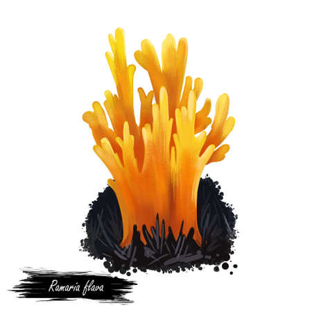 Ramaria flava or locally named changle mushroom closeup digital art illustration. Yellow boletus that grows on corals. Terminal branches finely divided into sharp tips. Plants growing in water.