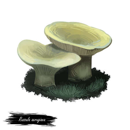 Russula aeruginea, tacky or grass green mushroom closeup digital art illustration. Boletus has light grey olive color of cap. Mushrooming season, plant of gathering plants growing in woods and forests Stock Photo