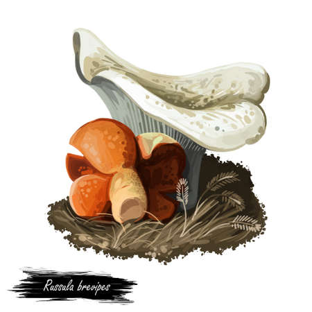 Russula brevipes, short stemmed or stubby brittlegill mushroom closeup digital art illustration. White boletus with grey dots. Mushrooming season, plant of gathering plants growing in wood and forest.